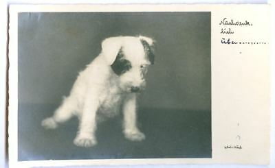 RARE Personal Photo Dog Postcard Fox or Jack Russell Terrier Puppy Holland 1932