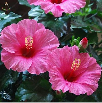 100 Double Pink Hibiscus Seeds Giant Hardy Flower Garden Exotic