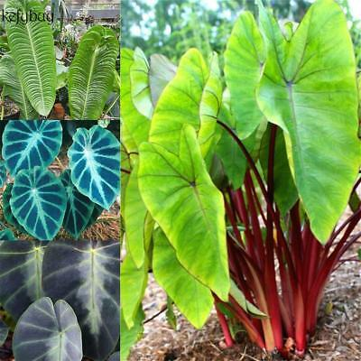 Perennial Bonsai Taro Seeds Vegetable Plant Seeds KFBY