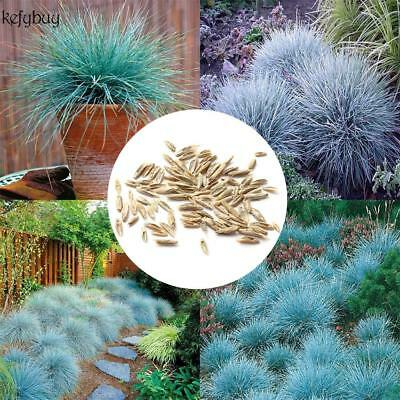 50pcs Blue Fescue Herb Hardy Ornamental Perennial Seeds Grass Seeds Pot KFBY