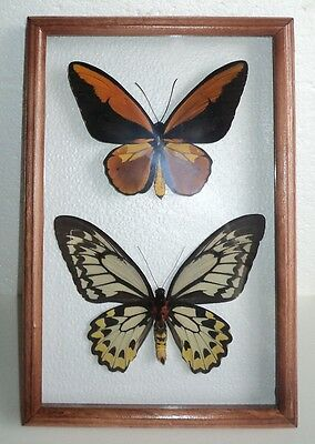 Ornithoptera croesus lydius pair in a frame of real wood. A good master.