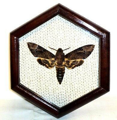 Acherontia. Death's head Moth real as in the movie silence of the lambs....