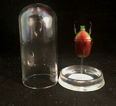 Y100 Preserved Entomology RED Flower Beetle Glass Dome Disply Taxidermy insect