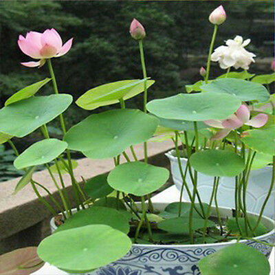 10pcs Lotus Bowl Water Lily Nelumbo Nymphaea Pond Plants Balcony Flower Seeds