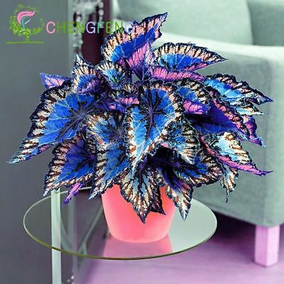 100pcs Janpanse Bonsai Coleus Foliage Plants Perfect Color Rainbow Dragon Seeds