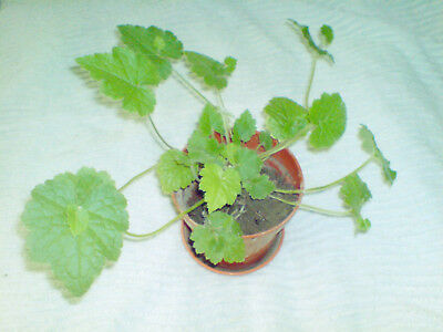 One Baby Piggyback Plant Tolmiea Menziesii House Plant rooted posting barerooted