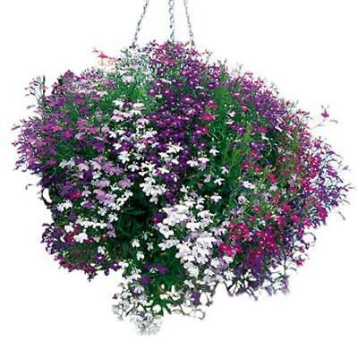 50+   Lobelia  Cascade Regatta Mix, Extra  Early Trailing Flower Seeds