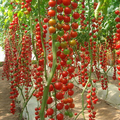 "10 pcs vegetable Seeds Four seasons small tomato seeds ""waterfall"""