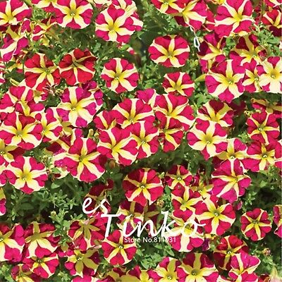 100pcs Petunia Seeds Petunia 'Amore Queen of Hearts' Flower Seeds Half-hardy