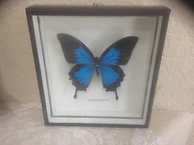 Real Blue Butterfly Papilio Ulysses In Case EUC Estate Item