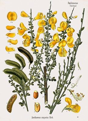 Botanical and Medicinal Plants Scotch Broom Vintage Art Print/Poster