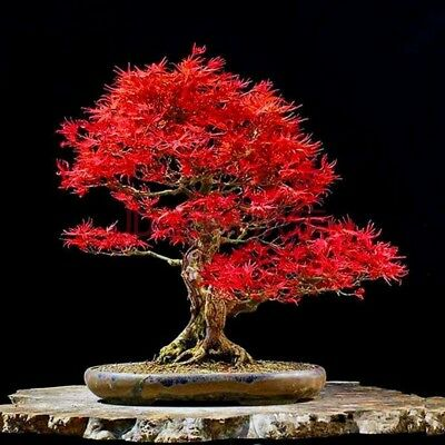 Maple Tree 20 Seeds Red Easy Grown Perfect Ornamental Bonsai Tree Seed S077