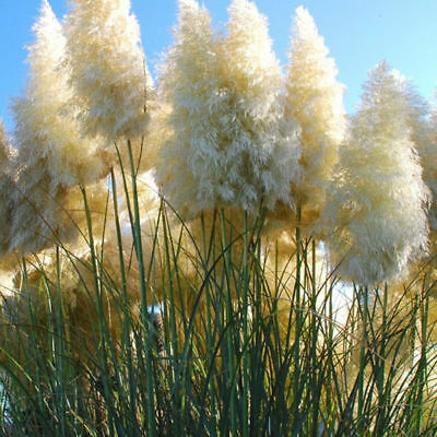20pcs Pampas Grass Seeds Ornamental home garden bonsai pot Plants Flower White