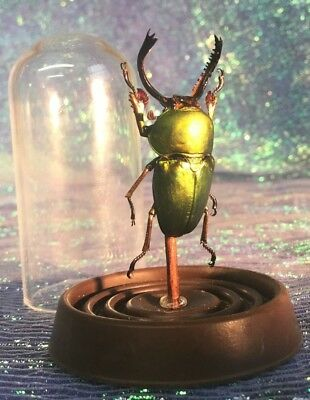 H31 Med. Taxidermy Entomology Unique Mt Arfak Stag Beetle Glass Dome Display