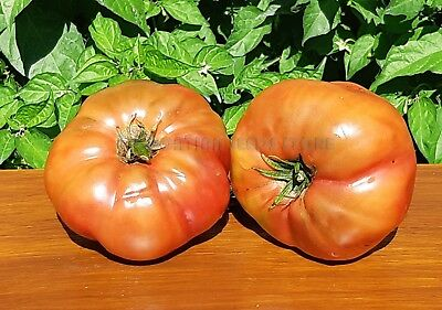Dwarf Project Tomato BRANDYFRED 15 Vegetable Seeds