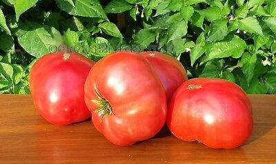 Dwarf Project Tomato TASTY WINE 15 Seeds Vegetable Garden