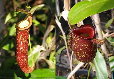 Nepenthes seeds N. mirabilis Red x ampullaria Red Speckle