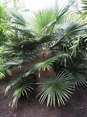 Coccothrinax crinita ( 3 ) Seedlings Old Man Palm Tree Live Tropical Rare