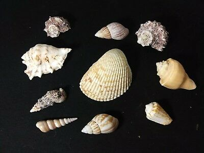 10  Medium To Large Medium Sea Shells - For Hermit Crab, Craft Or Collection