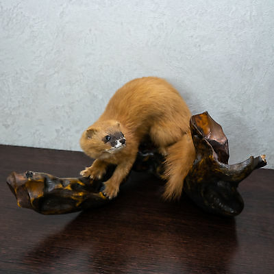 SIBERIAN WEASEL TAXIDERMY Mount - Kolinsky Mounted, Stuffed