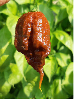 Extremely Hot Chili Pepper CHOCOLATE REAPER 10 Seeds Vegetable Organic Garden