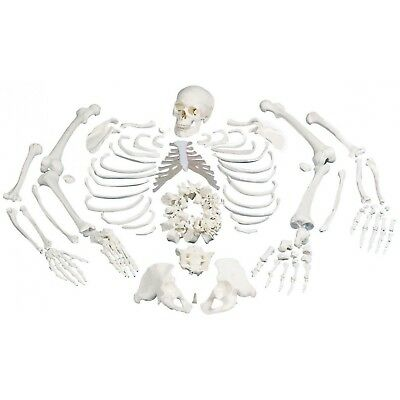 3B Scientific A05/1 Disarticulated Full Human Skeleton Anatomical Model A 05/1