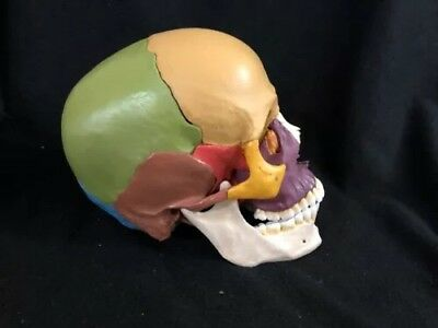 Somso QS 8/3 14 Piece Model of the Human Skull Disarticulated Anatomical Model