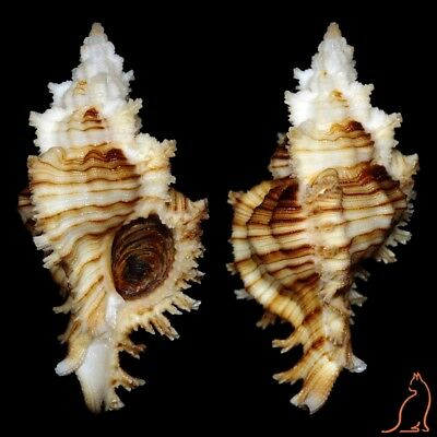 Murex Chicoreus microphyllus, Philippines, Muricidae sea shell