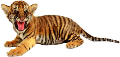 BABY Siberian TIGER Wild Cat Zoo Animal - WINDOW CLING Sticker Decal - Free Ship