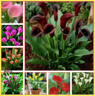 100 pcs seed Rainbow Calla Lily plants Indoor Flower Garden decor Variety easy