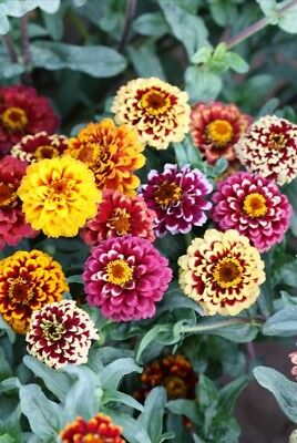 50 Classic Zinnia Elegans Seeds youth-and-old-age Ornamental Garden Flowers A091