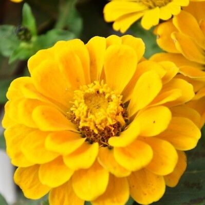50 Yellow Zinnia Elegans Seeds Youth-and-old-age Ornamental Garden Flowers A016