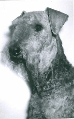 RARE Old Dog Personal Photo Postcard PC Airedale Terrier c1950 Holland Agfa