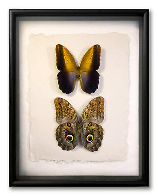 "REAL FRAMED OWL BUTTERFLIES - Caligo Prometheus PAIR / ART OF INSECTS 11""x14"" L2"