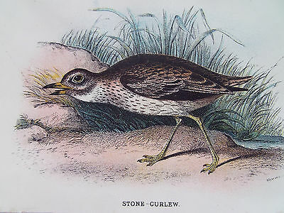 BIRDS STONE CURLEW ORIGINAL OLD ANTIQUE PRINT DATED 1880 12cm X 18cm