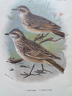 BIRDS SKY LARK AND WOOD LARK ORIGINAL ANTIQUE PRINT DATED 1880 12cm X 18cm