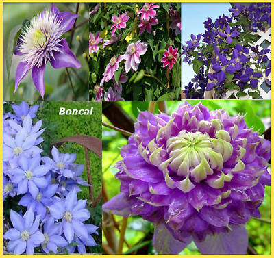 100 pcs seeds Clematis decor plants flower boncai garden Perennial Climbing easy