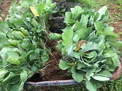 20 Wheelers Imperial  Spring cabbage plants field grown transplants not plugs