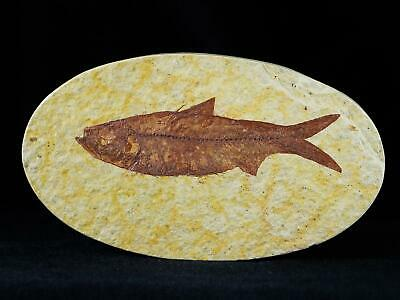 3.4 In Knightia Eocaena Fossil Fish Green River Formation Wy Eocene Age Free Coa