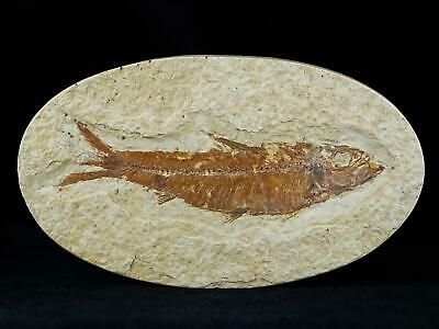 3.7 In Knightia Eocaena Fossil Fish Green River Formation Wy Eocene Age Free Coa