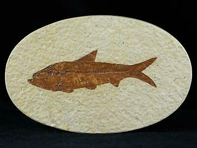 3 In Knightia Eocaena Fossil Fish Green River Formation Wy Eocene Age Free Coa