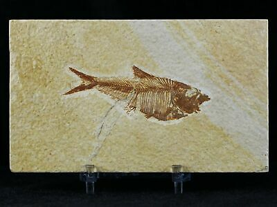 2.7 In Diplomystus Dentatus Fossil Fish Green River Wyoming Eocene Free Stand