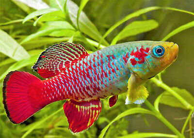 """30 Eggs """" Guentheri Red """"  Killifish Hatching Tropical Fish Free Food"""