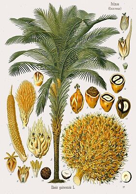 Botanical Herb Medicinal Plants African Palm Oil Tree - 76  Print/Poster