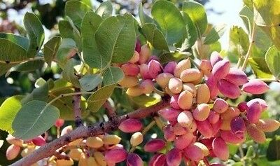 3 Antep Pistachio (2 Female and 1 Male) (grafted) from Turkey