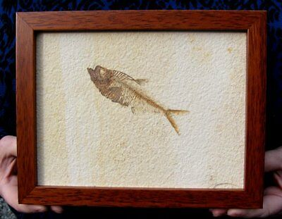 Extinctions- Beautiful Framed Fossil Fish- Spectacular Display- Great Gift Idea!