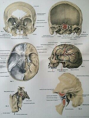 1920 Vintage Anatomy Print Sections of Skull Bones Medical Decor Skeleton