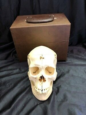 Kilgore International Dissected Model Skull with Care Lifesize Anatomical Model
