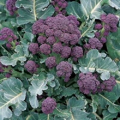 Early Purple Sprouting Broccoli  50 Fine Fresh Seeds 100% Organic