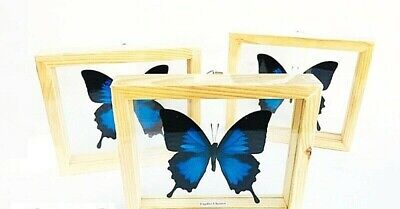 1Pc Papilio Ulysses Real Butterfly Txidermy Attacus Insect frame Display Mounted